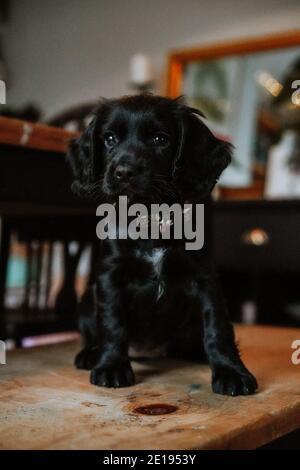 Negro trabajador cachorro spaniel cachorro en casa