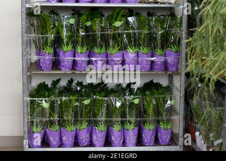 Lote de plantas de zamioculcas en vitrina en tienda de flores, fondo floral, enfoque selectivo