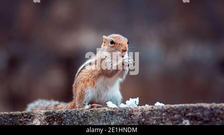 Linda ardilla joven sosteniendo arroz blanco en ambas manos, comiendo una comida mientras está en plena alerta del entorno, parándose en una pared.