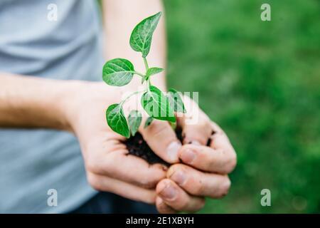 Hombre de cerca sosteniendo la planta joven en manos contra fondo verde de primavera. Concepto de jardín de primavera fresca. Enfoque selectivo