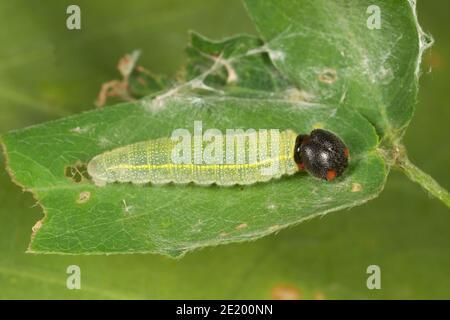 Northern Cloudywing Skipper larva, Thorybes pylades, Hesperiidae. Longitud 15 mm. Alimentándose en el trébol de la garrapata de San Pedro, Desmodium batocaulon, Fabaceae. Foto de stock