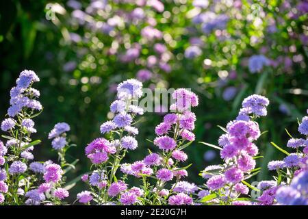 Aster Novi-belgil L., o Michaelmas Daisy, flores rosadas y púrpura. Vista lateral vio los árboles dispuestos en una línea el fondo es un jardín colorido ingenio