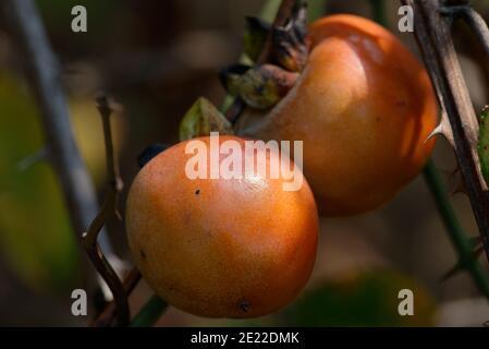 Fruta común de Persimmon
