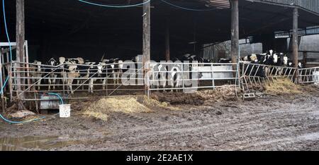 Ganado en un establo de vaca Foto de stock