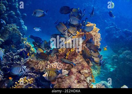 Colonia de Zebrasoma desjardinii o el pez médico de aleta de vela india en coloridos arrecifes de coral subacuáticos