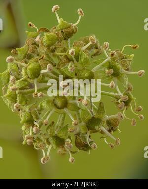 Hiedra común, Hedera hélice, en flor a finales de otoño.