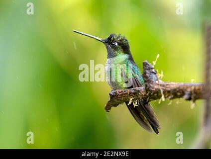Cierre de Talamanca Hummingbird (Eugenes spectabilis) persiguiendo en una rama en las tierras altas de Panamá. Este pájaro también se encuentra en Costa Rica