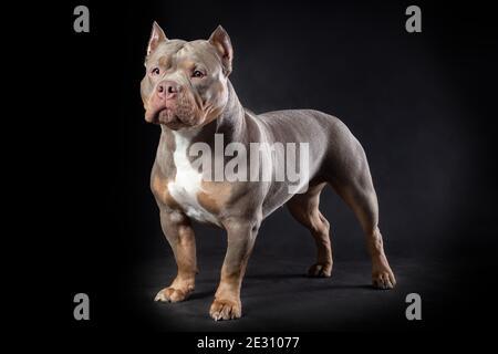 Perro hembra de raza de matón americano de color lila tri de pie en el fondo negro