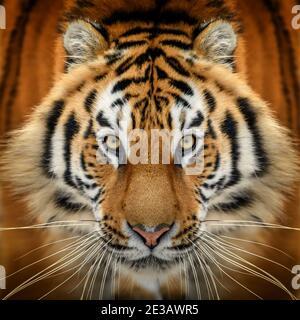 Primer plano retrato de tigre. Animal mirando en la cámara. Peligro animal en el hábitat de la naturaleza
