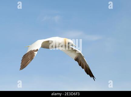Cerca de un gannet del norte (Morus bassana) en vuelo contra el cielo azul en Noss, Shetland, Reino Unido. Foto de stock