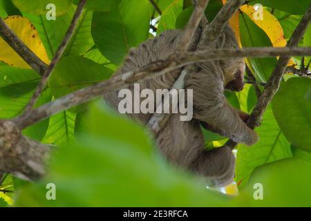 pereza trepando en un árbol en costa rica