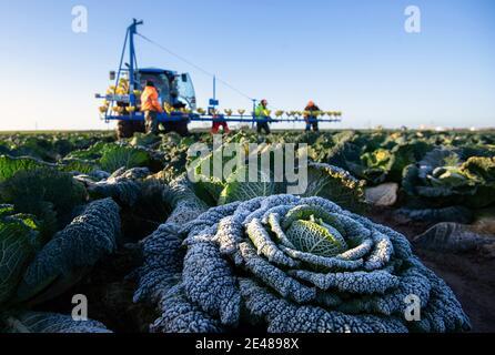 Los trabajadores cosechan cabañas de saboya en TH Clements cerca de Boston en Lincolnshire. Fecha de la foto: Viernes 22 de enero de 2021.
