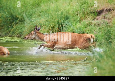 La vaca de ciervo rojo (Cervus elaphus) corre a través de un arroyo, Alemania