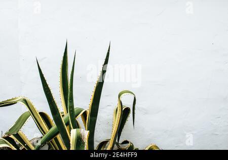 Primer plano de la planta lingual de una suegra (Sansevieria trifasciata) creciendo aislado frente a una pared de piedra blanca