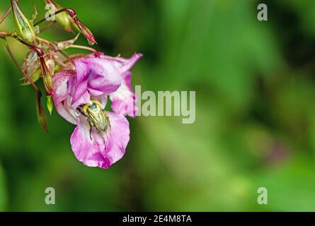 Himalayan Balsam, impatiens glandulifera, flores de cerca. Se origina en los Himalayas y ahora es una planta de floración invasora en el Reino Unido