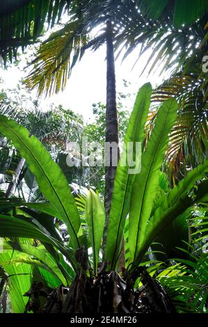 Hermosa planta verde nido de pájaro Fern (Asplenium nidus) en el subcrecimiento tropical