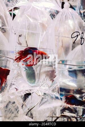 Peces siameses coloridos y exóticos que luchan en una bolsa de plástico que se muestra en el mercado de peces de oro de Hong Kong