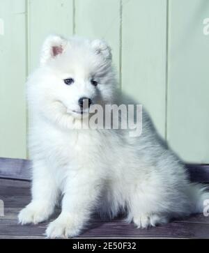 Retrato de un sonriente y esponjoso cachorro blanco Samoyed