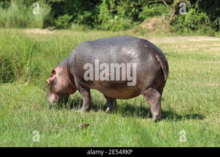 Un hipopótamo come hierba a orillas del Nilo Río en el Parque Nacional Murchison Falls en Uganda