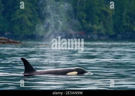 Orcinus orca, mujer residente del norte, cerca de la costa del archipiélago de Broughton, Territorio de las primeras Naciones, Columbia Británica, Canadá.(A
