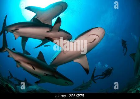 Buceadores nadando con una gran escuela de tiburón arrecife caribeño (Carcharhinus perezi) en el Mar Caribe.