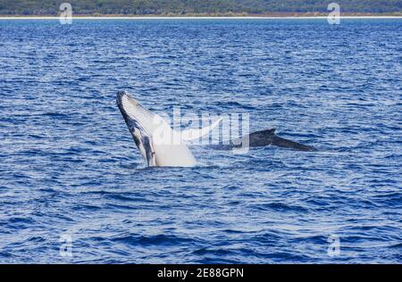 La ballena jorobada (Megaptera novaeangliae) Infracción, Hervey Bay, Queensland, Australia