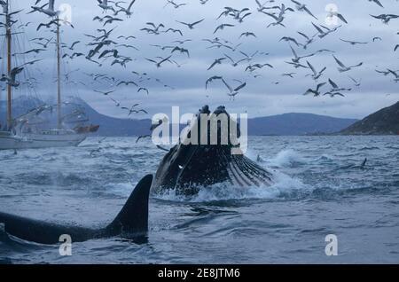 Ballena jorobada de superficie (Megaptera novaeangliae) con boca abierta alimentándose en arenque (Clupea harengus), en frente de ballena asesina (Orcinus orca), arriba