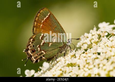 Una mariposa enebro Hairstreak alimentándose de las flores en el verano.