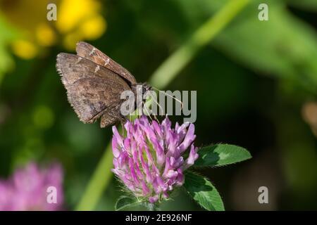 Mariposa Nubodywing del Norte alimentándose en néctar de una planta de trébol. Foto de stock