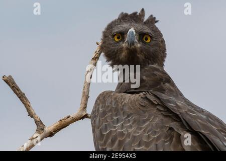 Águila Marcial (Polemaetus belicosus), Reserva Nacional de Samburu, Kenia. Foto de stock