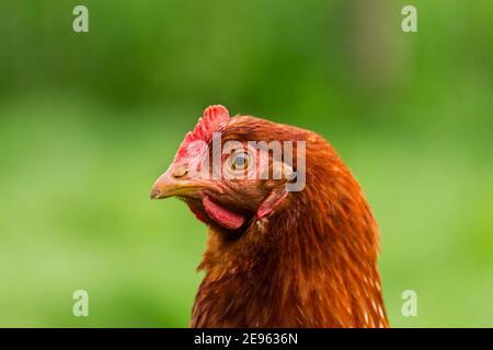 Las gallinas se alimentan en la tradicional rural de corral en día soleado. Detalle de la cabeza de gallina. Pollos sentados en el gallinero. Cerca de pollo parado en el granero
