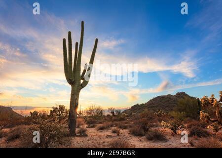 Saguaro Cactus gigante y paisaje desértico en Phoenix, Arizona.