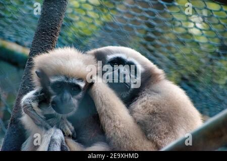 Dos monos adornados unos con otros.