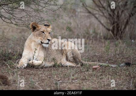 Cachorro de león, Panthero leo, Parque Nacional Kruger, Sudáfrica