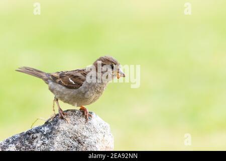 Female House Sparrow [ Passer domesticus ] sobre una roca CON EL GUSANO DE LA CARNE EN SU PICO