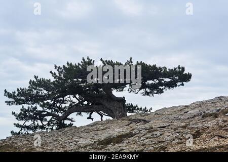 el pino torcido de bizarre crece en una roca en el borde de un precipicio