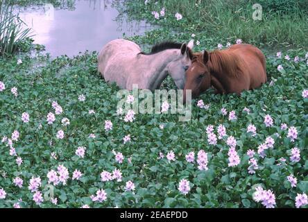 Australia. Queensland. Caballos en la laguna. Comer agua Hyachinths (Eichhornia crassipes).