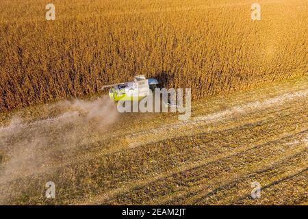 Las cosechas de cosechadora de maíz. Recoger mazorcas de maíz con la ayuda de una cosechadora. En el campo de maíz maduro.