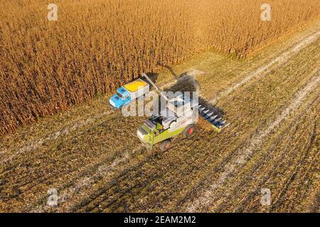 La cosechadora vierte el grano de maíz en la carrocería del camión. La cosechadora cosecha maíz.