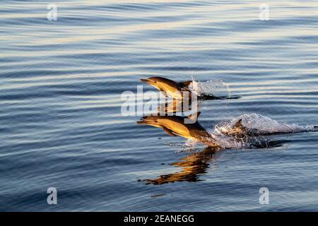 Delfines comunes adultos de pico largo (Delphinus capensis) al amanecer en Isla Ildefonso, Baja California, México, América del Norte