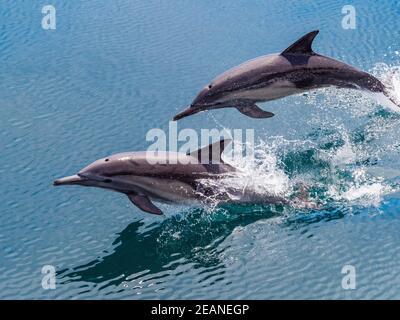 Delfines comunes de pico largo (Delphinus capensis), saltando, Isla San Pedro Esteban, Baja California, México, América del Norte