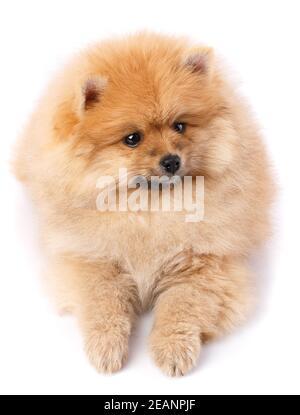 Pomeranian Spitz posando delante de la cámara sobre fondo blanco.