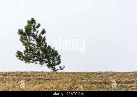 Un pino solitario crece en la cima de una montaña. Minimalismo natural en tonos restringidos. Paisaje minimalista atmosférico neutro con un árbol curvo en t