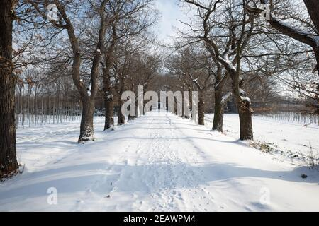 Al aire libre disminuir la perspectiva de la calle vacía junto a la fila de árboles y campo agrícola cubierto de nieve en la temporada de invierno y el cielo soleado.