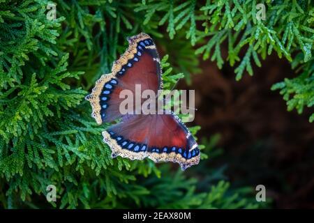 Una mariposa de capa de Mourning (Nymphalis antiopa) descansando en una rama de Arborvitae. Foto de stock
