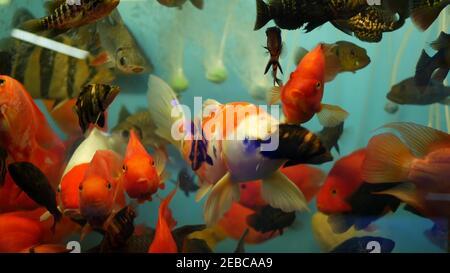 Diversidad de peces tropicales en acuario decorativo exótico. Surtido en chatuchak mercado de pescado tiendas de mascotas. Primer plano de animales de compañía de colores que se muestran en stal