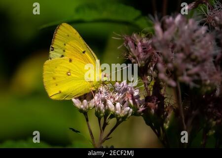 Una mariposa de azufre nublado (Colias philodice) que se alimenta de una flor de maleza.