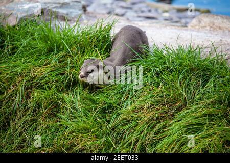 Asia pequeño-clawed otter Aonyx cinereus moviéndose en la hierba espesa encendido tierra seca (cautiva)