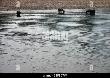 Tres búfalos de agua Bubalus Bubalus de pie en el agua, río Li, Guilin, China