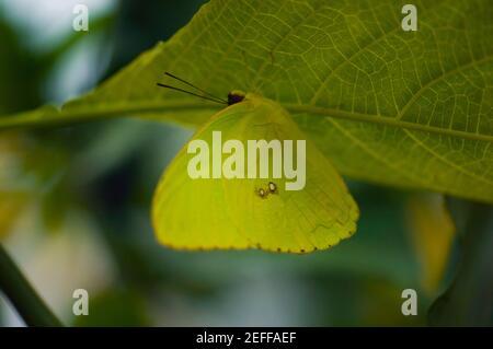 Primer plano de una mariposa sin nubes de azufre Phoebis Sennae en un hoja